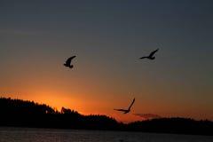 盘旋在水的鸟在日落 库存图片