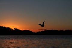 盘旋在水的鸟在日落 免版税库存图片