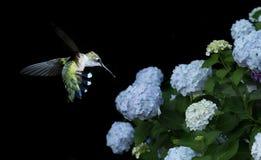 盘旋在黑背景的八仙花属的蜂鸟 图库摄影