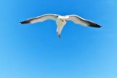盘旋的海鸥 免版税库存图片