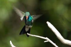 盘旋的蜂鸟着陆 免版税库存图片