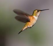 盘旋的蜂鸟 免版税图库摄影