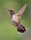 盘旋的蜂鸟 免版税库存照片