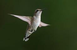 盘旋的蜂鸟 图库摄影