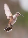 盘旋的蜂鸟 免版税库存图片