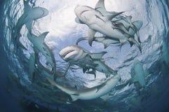 盘旋的鲨鱼 免版税库存照片