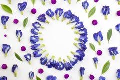盘旋蓝色豌豆和千日红花框架  库存照片