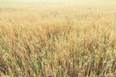 盛夏燕麦或燕麦属漂白亚麻纤维的农田花卉覆盖物纹理 库存图片