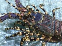 盛大龙虾 库存图片