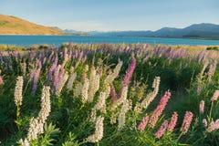 盛开在Tekapo湖边的羽扇豆花有山背景 免版税图库摄影