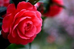 盛开山茶花开花在台湾 免版税库存照片