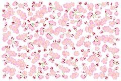 盛开桃红色佐仓树在白色隔绝的樱花,花背景 免版税图库摄影