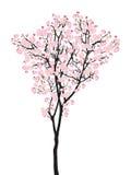盛开桃红色佐仓树樱花在白色隔绝的黑色木头,树梢花 皇族释放例证