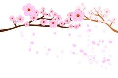 盛开樱花和吹/在白色背景隔绝的飞行瓣 向量例证, EPS10 免版税库存照片