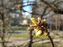 盛开的叶子在春天 免版税库存照片