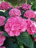 盛开的桃红色八仙花属庭院 库存照片