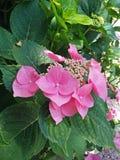 盛开的桃红色八仙花属庭院 免版税库存照片