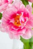 盛开的桃红色郁金香 免版税库存图片