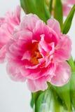 盛开的桃红色郁金香 免版税图库摄影