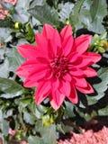 盛开的红色达莉亚 库存照片