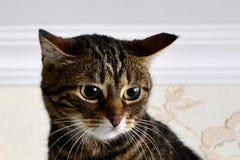 目瞪口呆的猫看看惊吓她的事 库存图片