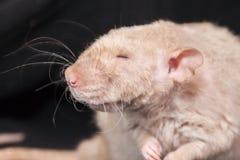 盲目的概念 老鼠装饰画象 r ?? 库存照片