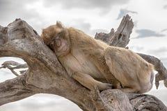 直布罗陀的岩石的著名猴子 免版税库存照片