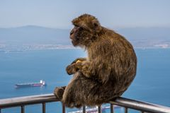 直布罗陀/大英国- 2017年10月09日:在直布罗陀的岩石的顶部猴子 免版税库存照片
