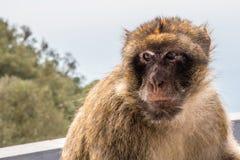直布罗陀/大英国- 2017年10月09日:在直布罗陀的岩石的顶部猴子 库存图片