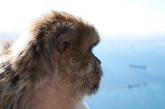 直布罗陀macaco 免版税库存图片