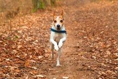 直接地猎狗与衣领的杰克罗素狗在叶茂盛森林里在秋天 免版税图库摄影