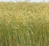 直接大麦庄稼和冠上与金黄头 库存照片