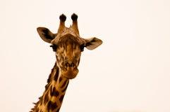 直接长颈鹿! 免版税库存图片
