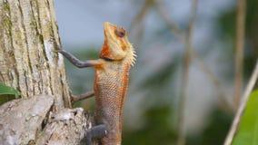 直站在树树干的美丽的小蜥蜴侧视图在国家公园 在热带的橙色壁虎 股票视频