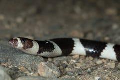 相互投掷打来打去(Vermicella annulata),澳大利亚蛇 库存照片