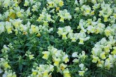 相当一点黄色花在庭院里 库存照片