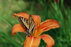 相当与一只蝴蝶的橙色百合对此` s瓣 免版税图库摄影