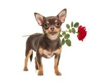 相当与一朵红色玫瑰的棕色常设奇瓦瓦狗 免版税库存图片