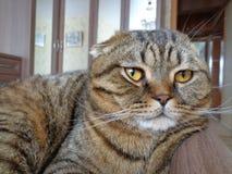相当严肃的猫 库存图片