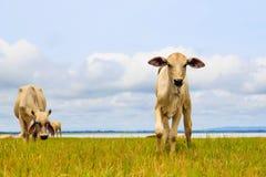 相当单独站立在绿色牧场地的小的小牛 图库摄影