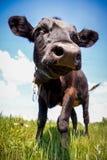 相当单独站立在绿色牧场地的小的小牛 免版税图库摄影