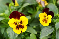 相当双色的黄色和紫色紫罗兰 库存照片