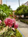 相当在一座老城堡里面的桃红色花 库存图片