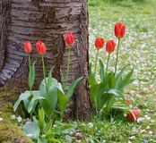 相当在树基地-好的春天场面的红色郁金香-图象 免版税图库摄影