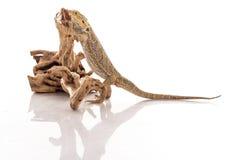 相当在白色背景的凉快的蜥蜴 免版税图库摄影
