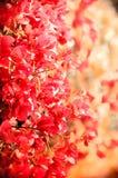 相当在盛开的桃红色五颜六色的九重葛与软的背景 免版税库存图片