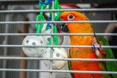 相当在笼子的五颜六色的鹦鹉与垂悬的玩具 免版税库存照片