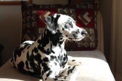 相当坐的达尔马提亚狗 免版税库存图片