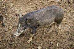 相当大的泥泞的肮脏的野公猪在有下落的l的秋天森林里 库存图片