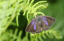 相当女性紫色翅上有细纹的蝶蝴蝶Favonius栎属在蕨栖息 库存照片